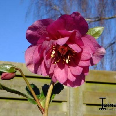 Helleborus orientalis 'Delila' -