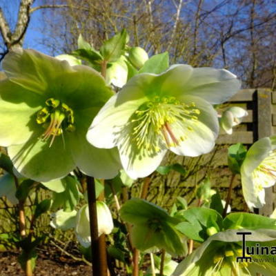Helleborus x hybridus  'Molly's White' -