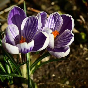 Crocus vernus 'King of the Striped'