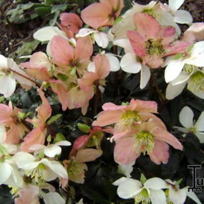 Helleborus niger 'Christmas Carol' -