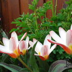 Tulipa 'Heart's Delight' - Tulp