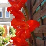 Gladiolus x grandiflorus - Gladiolus x grandiflorus - Grootbloemige gladiolen