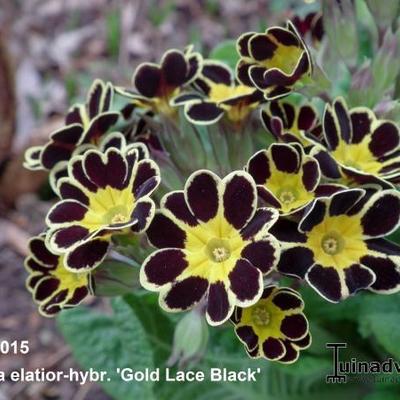 Primula elatior 'Gold Lace Black' -