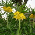 Fritillaria imperialis - Keizerskroon