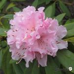 Rhododendron 'Christmas Cheer' - Rododendron