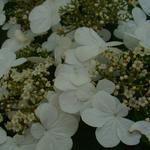 Viburnum plicatum f. plicatum 'Rotundifolium' - Japanse sneeuwbal - Viburnum plicatum f. plicatum 'Rotundifolium'