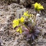 Draba lasiocarpa - Geel hongerbloempje - Draba lasiocarpa