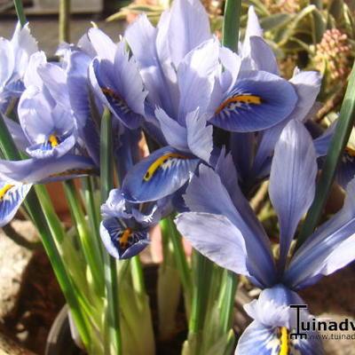 Iris reticulata 'Alida' -