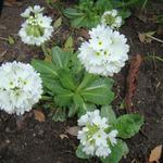 Kogelprimula / bolprimula - Primula denticulata 'Alba'