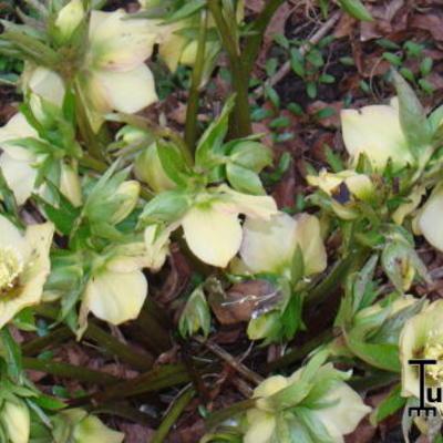 Helleborus x hybridus -