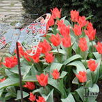 Tulipa greigii 'Red Riding Hood' - Tulp