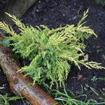 Juniperus x pfitzeriana 'King of Spring' - Jeneverbes