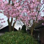 Japanse sierkers - Prunus serrulata 'Kanzan'