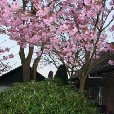 Prunus serrulata 'Kanzan'  -