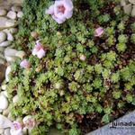 Saxifraga 'Allendale Dream' - Steenbreek