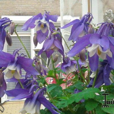 Aquilegia flabellata 'CAMEO Blue & White' -