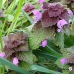 Lamium purpureum - Lamium purpureum - Paarse dovenetel