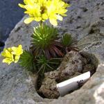 Draba dedeana subsp. mawii - Draba dedeana subsp. mawii - Geel hongerbloempje