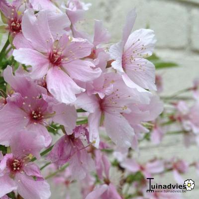 Prunus nipponica 'Brilliant' -