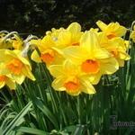 Narcissus  'Royal Scarlet'  - Narcissus  'Royal Scarlet'  - Narcis
