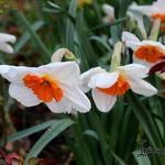 Narcissus 'Professor Einstein' -