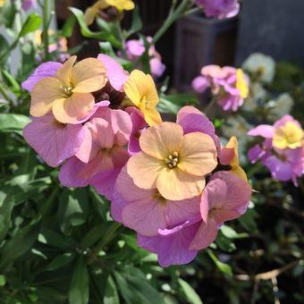 Erysimum ARTIST'S 'Paintbox'