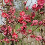 Prunus persica 'Melred' - Perzikboom, sierperzik