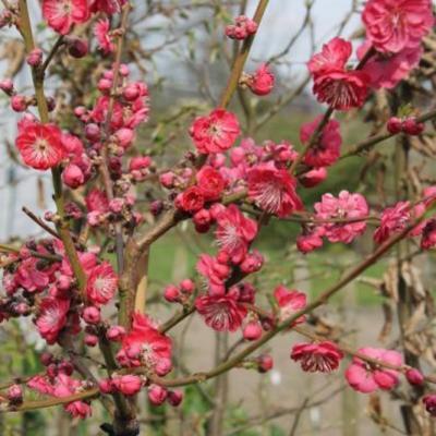 Prunus persica 'Melred' -