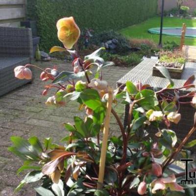 Helleborus orientalis 'PRETTY ELLEN'-serie -
