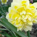 Narcissus 'Sweet Pomponette' - Narcissus 'Sweet Pomponette' - Narcis