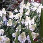 Muscari aucheri 'White Magic' - Druifhyacint, Blauwe druifjes