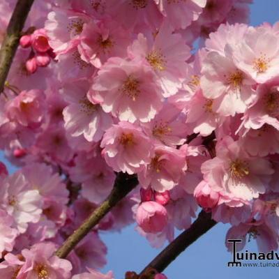 Prunus 'Accolade' -