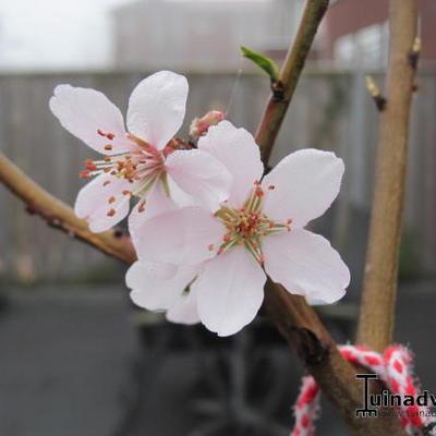 Prunus dulcis -