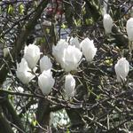 Magnolia kobus - Beverboom - Magnolia kobus