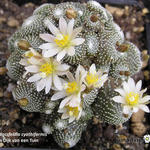 Blossfeldia cyathiformis - Blossfeldia cyathiformis - Dwergcactus