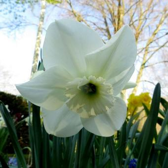 Narcissus 'Princess Zaide'