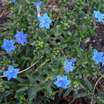Lithodora diffusa `Grace Ward`  - Parelzaad, Steenzaad