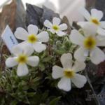 Androsace villosa - Androsace villosa - Spinnenweb