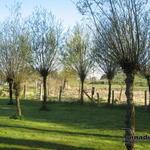 Salix alba - Salix alba - Wilg / Knotwilg / Schietwilg