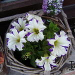 Petunia 'CRAZYTUNIA Starlight Blue' -