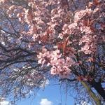 Prunus serrulata 'Royal Burgundy' - Japanse sierkers