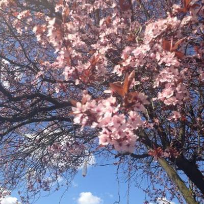 Prunus serrulata 'Royal Burgundy' -