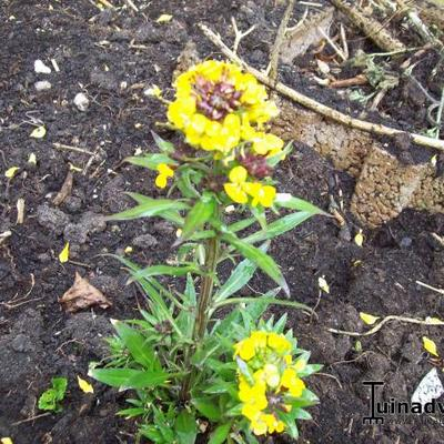 Erysimum 'Yellow Bird' - Steenraket