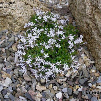 Phlox 'Tiny Bugles' -