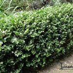 Buxus microphylla 'Faulkner' - Buxus - Buxus microphylla 'Faulkner'
