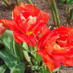 Tulipa 'Abba' - Tulipa 'Abba' - Tulp
