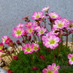 Saxifraga x arendsii 'Roter Knirps' - Steenbreek