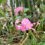 Primula rosea - Sleutelbloem - Primula rosea