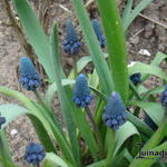 Bellevalia pycnantha - Bellevalia pycnantha - Druif Hyacint