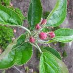 Malus domestica 'Ecolette' - Appel